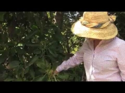 En Divina Luz Avocado Grower